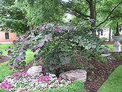 Forest Pansy Redbud (Cercis canadensis 'Forest Pansy') at Meadows Farms Nurseries