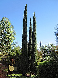 Italian Cypress (Cupressus sempervirens) at Meadows Farms Nurseries