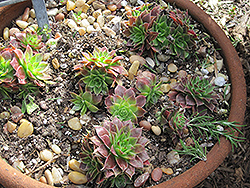Hens And Chicks (Sempervivum tectorum) at Meadows Farms Nurseries