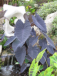 Black Magic Elephant Ear (Colocasia esculenta 'Black Magic') at Meadows Farms Nurseries