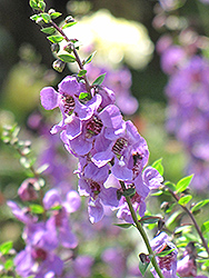 Serena Lavender Angelonia (Angelonia angustifolia 'Serena Lavender') at Meadows Farms Nurseries