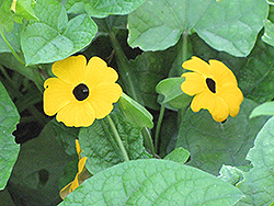 Black-Eyed Susan Vine (Thunbergia alata) at Meadows Farms Nurseries