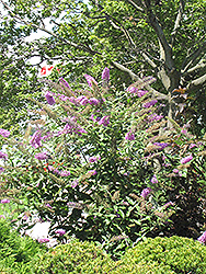 Pink Delight Butterfly Bush (Buddleia davidii 'Pink Delight') at Meadows Farms Nurseries