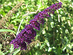 Black Knight Butterfly Bush (Buddleia davidii 'Black Knight') at Meadows Farms Nurseries