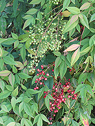 Nandina (Nandina domestica) at Meadows Farms Nurseries