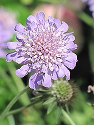 Butterfly Blue Pincushion Flower (Scabiosa 'Butterfly Blue') at Meadows Farms Nurseries