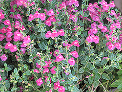 Texas Rose Pink Skullcap (Scutellaria suffrutescens 'Texas Rose') at Meadows Farms Nurseries