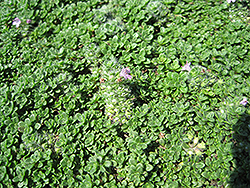 Elfin Creeping Thyme (Thymus praecox 'Elfin') at Meadows Farms Nurseries