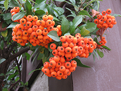 Lalandei Scarlet Firethorn (Pyracantha coccinea 'Lalandei') at Meadows Farms Nurseries
