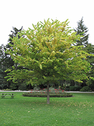 Common Hackberry (Celtis occidentalis) at Meadows Farms Nurseries