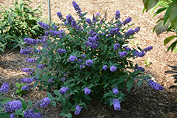 Lo And Behold® Blue Chip Dwarf Butterfly Bush (Buddleia 'Lo And Behold Blue Chip') at Meadows Farms Nurseries