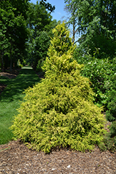 Golden Mop Falsecypress (Chamaecyparis pisifera 'Golden Mop') at Meadows Farms Nurseries