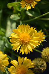 Mesa Yellow Blanket Flower (Gaillardia x grandiflora 'Mesa Yellow') at Meadows Farms Nurseries