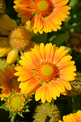 Gallo™ Peach Blanket Flower (Gaillardia aristata 'Gallo Peach') at Meadows Farms Nurseries