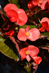 Big® Red Bronze Leaf Begonia (Begonia 'Big Red Bronze Leaf') at Meadows Farms Nurseries