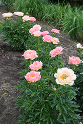 Coral Sunset Peony (Paeonia 'Coral Sunset') at Meadows Farms Nurseries