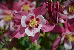 Origami Rose And White Columbine (Aquilegia 'Origami Rose And White') at Meadows Farms Nurseries