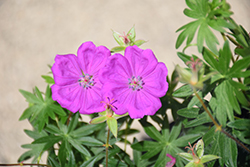 New Hampshire Purple Cranesbill (Geranium sanguineum 'New Hampshire Purple') at Meadows Farms Nurseries