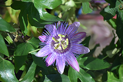 Amethyst Passion Flower (Passiflora 'Amethyst') at Meadows Farms Nurseries