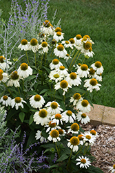 PowWow White Coneflower (Echinacea purpurea 'PowWow White') at Meadows Farms Nurseries
