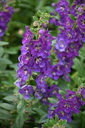 Angelface® Blue Angelonia (Angelonia angustifolia 'Angelface Blue') at Meadows Farms Nurseries