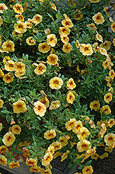Aloha Volcano Gold Calibrachoa (Calibrachoa 'Aloha Volcano Gold') at Meadows Farms Nurseries