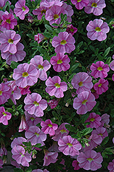 Aloha Kona Soft Pink Calibrachoa (Calibrachoa 'Aloha Kona Soft Pink') at Meadows Farms Nurseries
