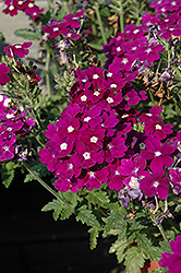 Aztec Violet Verbena (Verbena 'Aztec Violet') at Meadows Farms Nurseries