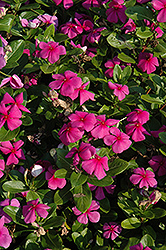 Titan™ Lilac Vinca (Catharanthus roseus 'Titan Lilac') at Meadows Farms Nurseries