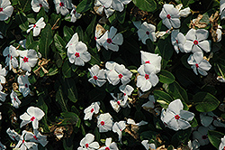 Titan™ Polka Dot Vinca (Catharanthus roseus 'Titan Polka Dot') at Meadows Farms Nurseries