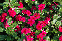 Titan™ Burgundy Vinca (Catharanthus roseus 'Titan Burgundy') at Meadows Farms Nurseries