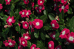 Titan™ Rose Halo Vinca (Catharanthus roseus 'Titan Rose Halo') at Meadows Farms Nurseries
