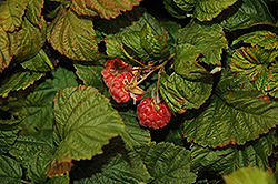 Raspberry Shortcake® Raspberry (Rubus 'NR7') at Meadows Farms Nurseries