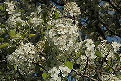 Cleveland Select Ornamental Pear (Pyrus calleryana 'Cleveland Select') at Meadows Farms Nurseries