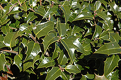 Dragon Lady Holly (Ilex x aquipernyi 'Meschick') at Meadows Farms Nurseries
