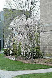 Double Pink Weeping Higan Cherry (Prunus subhirtella 'Pendula Plena Rosea') at Meadows Farms Nurseries