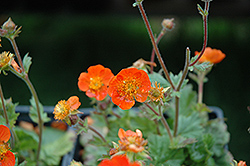 Koi Avens (Geum coccineum 'Koi') at Meadows Farms Nurseries