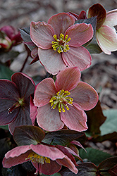 Pink Frost Hellebore (Helleborus 'COSEH 710') at Meadows Farms Nurseries