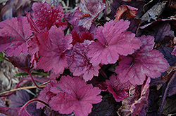 Georgia Plum Coral Bells (Heuchera 'Georgia Plum') at Meadows Farms Nurseries