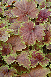 Delta Dawn Coral Bells (Heuchera 'Delta Dawn') at Meadows Farms Nurseries