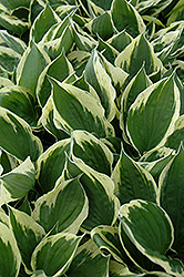Independence Hosta (Hosta 'Independence') at Meadows Farms Nurseries