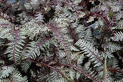Regal Red Painted Fern (Athyrium nipponicum 'Regal Red') at Meadows Farms Nurseries