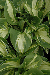 Trifecta Hosta (Hosta 'Trifecta') at Meadows Farms Nurseries