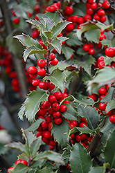 Blue Princess Meserve Holly (Ilex x meserveae 'Blue Princess') at Meadows Farms Nurseries