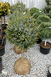 Dwarf Serbian Spruce (tree form) (Picea omorika 'Nana (tree form)') at Meadows Farms Nurseries