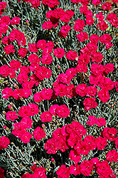 Frosty Fire Pinks (Dianthus 'Frosty Fire') at Meadows Farms Nurseries