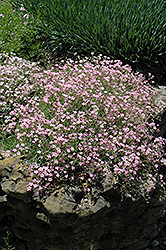 Pink Creeping Baby's Breath (Gypsophila repens 'Rosea') at Meadows Farms Nurseries