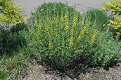 Solar Flare Prairieblues False Indigo (Baptisia 'Solar Flare Prairieblues') at Meadows Farms Nurseries