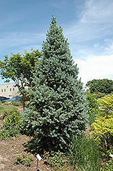 Upright Colorado Spruce (Picea pungens 'Fastigiata') at Meadows Farms Nurseries