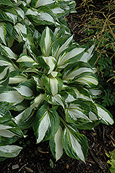 Vulcan Hosta (Hosta 'Vulcan') at Meadows Farms Nurseries